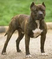 13 ulovlige hunderacer