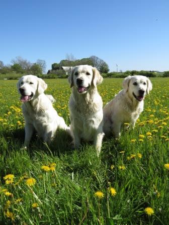 Familiehunde træning